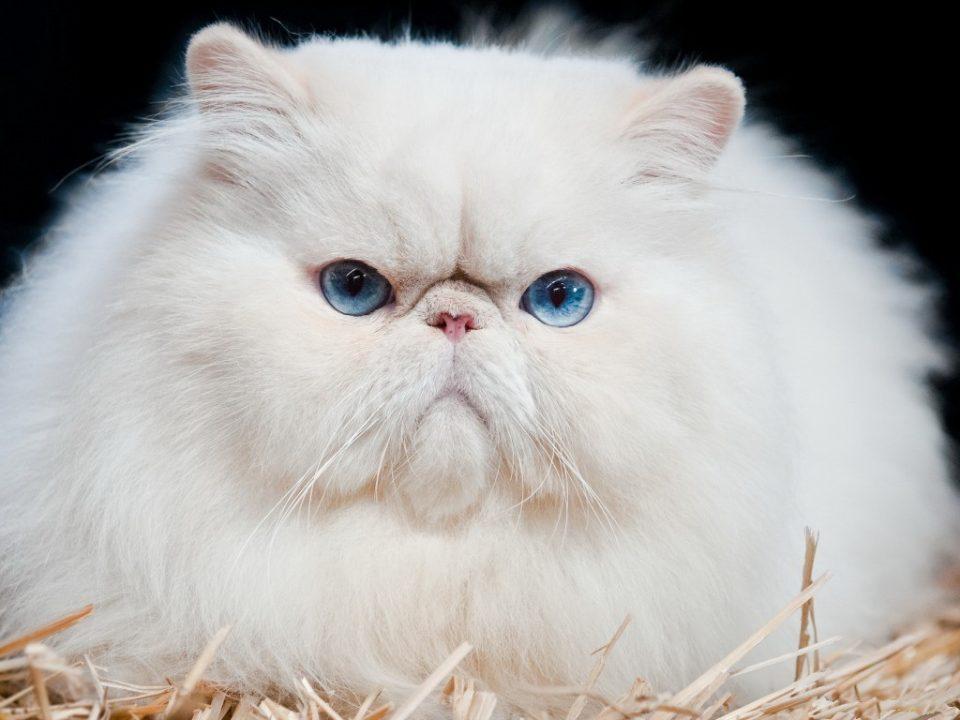 Сколько живут персидские кошки в домашних условиях 648