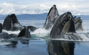 Супер зрелище! Стая горбатых китов на кормежке