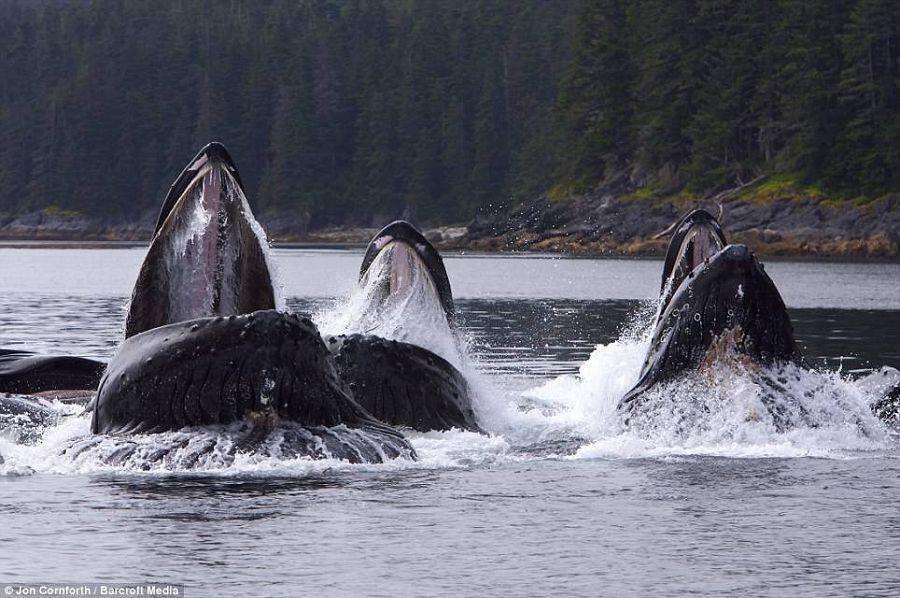 горбатые киты на кормежке