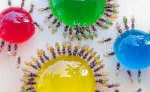 Сломайте стереотипы: муравьи бывают разноцветными!