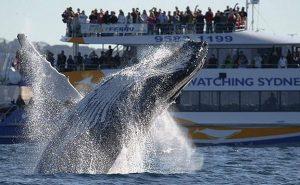 горбатый кит выпрыгнул из воды