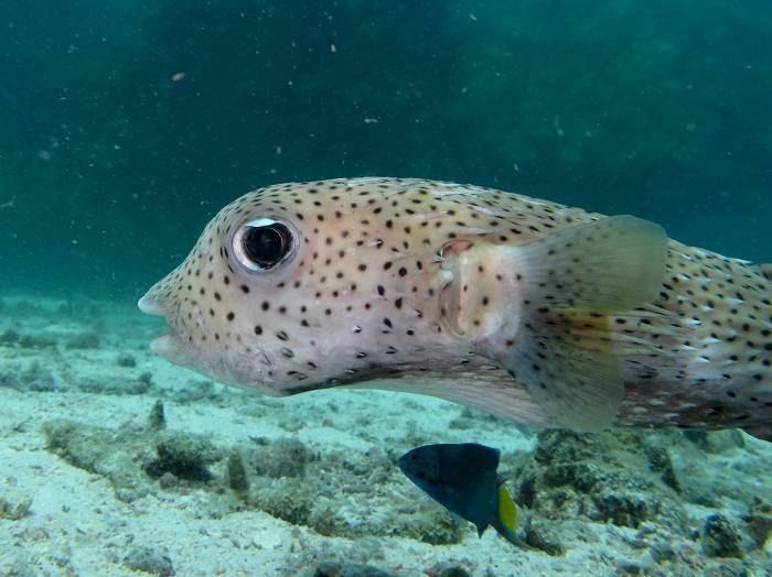Невероятные брачные игры маленькой рыбки фугу
