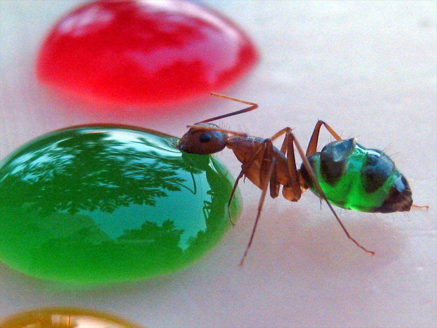 цветные муравьи