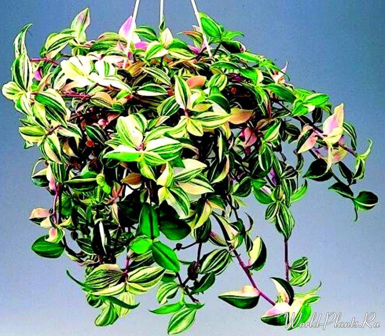 снимок листка растения традесканция