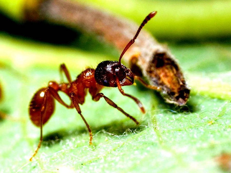 глаза муравья