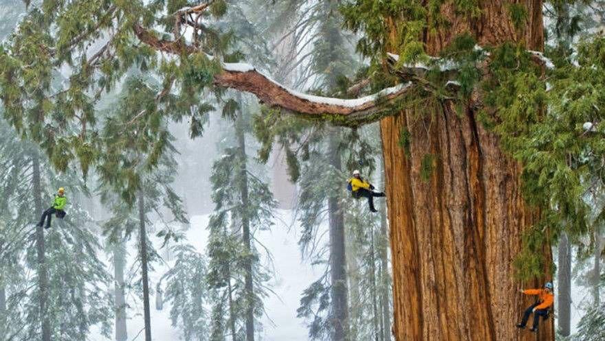 Дерево Гигант из Калифорнии 1