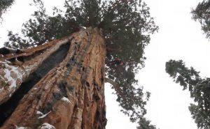 Гигант из Калифорнии высотой в 74 метра