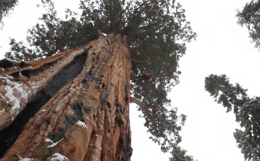 Дерево Гигант из Калифорнии 2