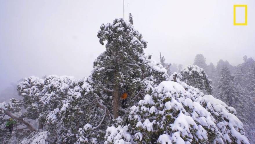 Дерево Гигант из Калифорнии 3