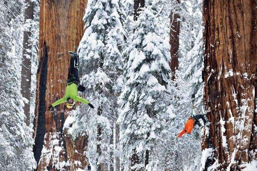 Дерево Гигант из Калифорнии 4