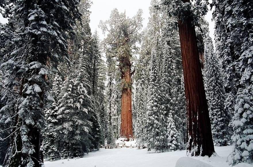 Дерево Гигант из Калифорнии 5