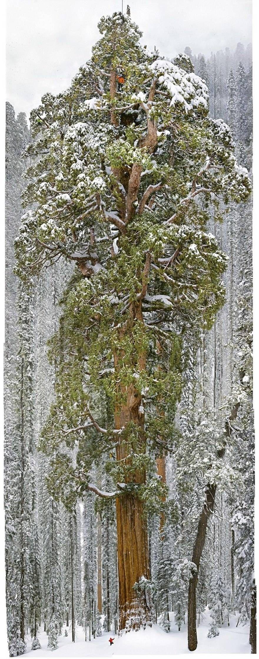 Дерево Гигант из Калифорнии 8