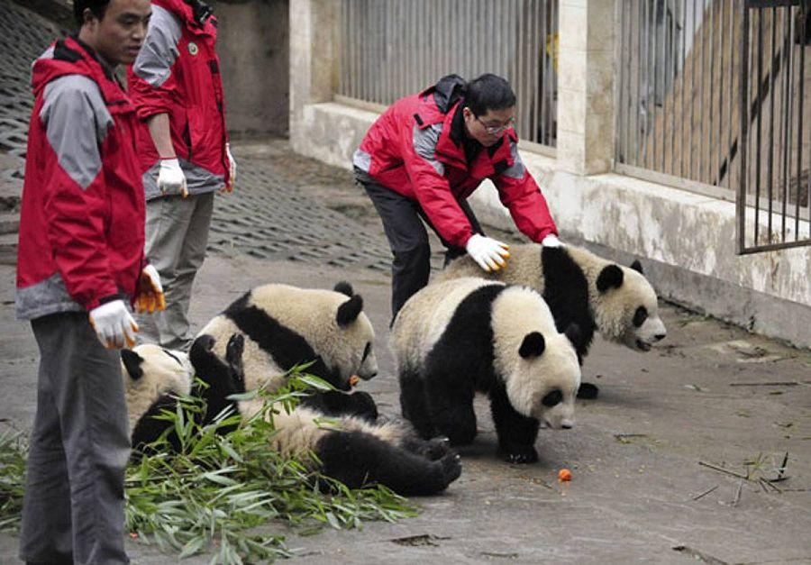 Няня для панд