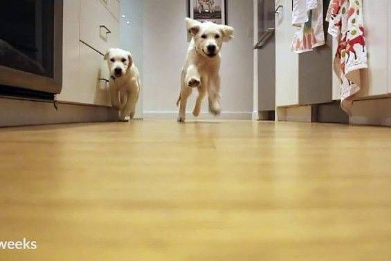 Pups running for dinner