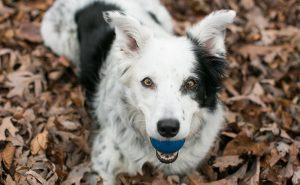 Самая умная в мире собака по кличке Чейсер