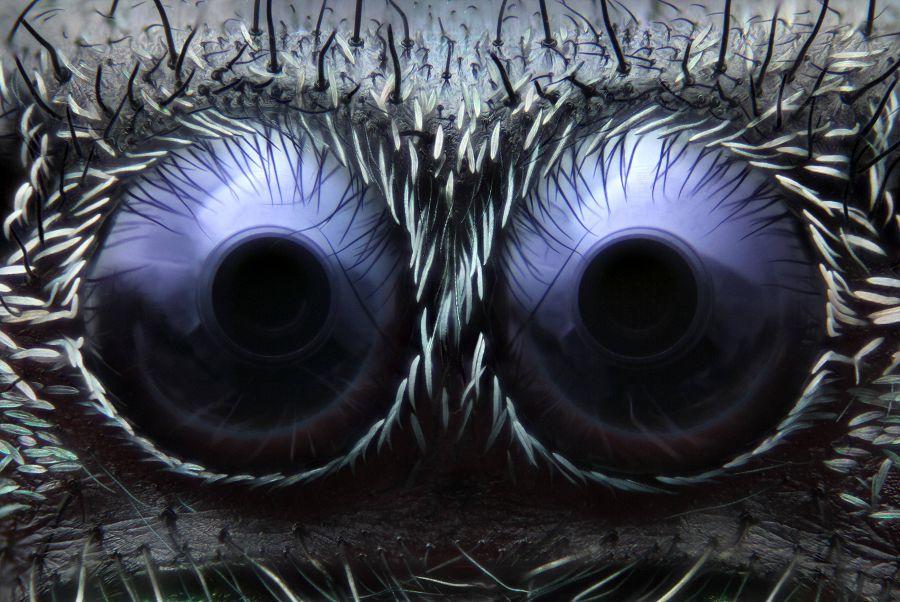 глаз паука-скакуна,