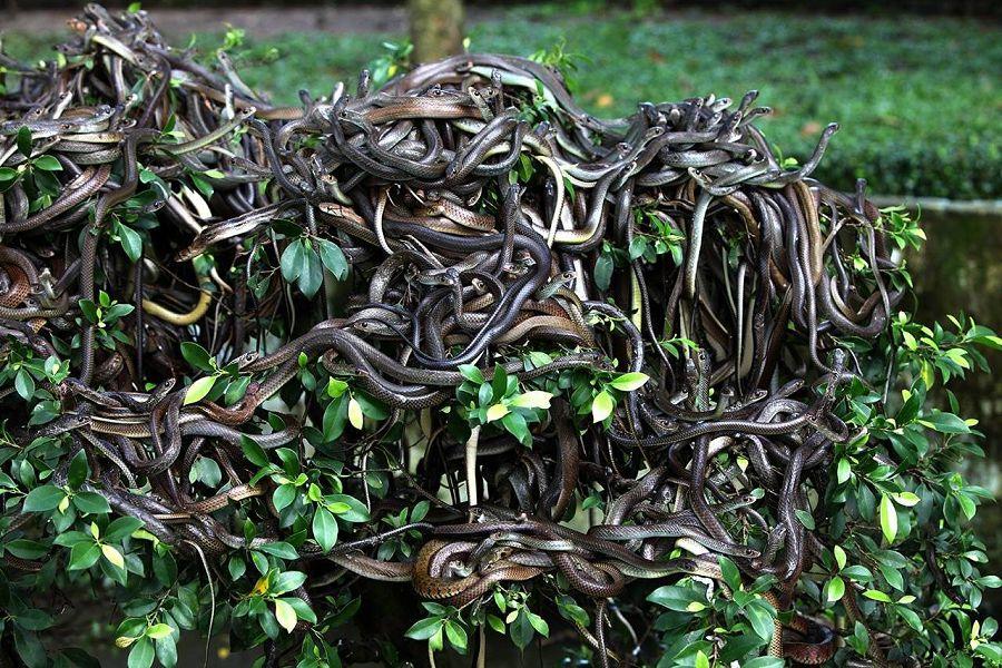 Змеиный остров, Бразилия