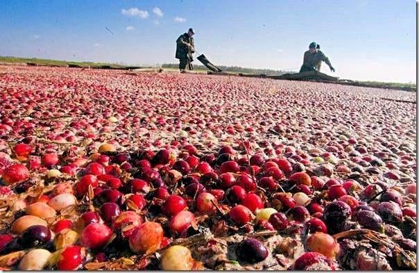 Cбор урожая клюквы в штате Висконсин 3