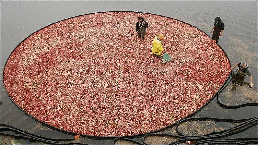 Cбор урожая клюквы в штате Висконсин 4