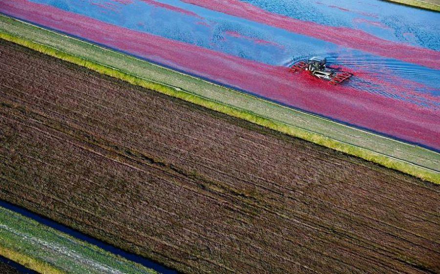 Cбор урожая клюквы в штате Висконсин