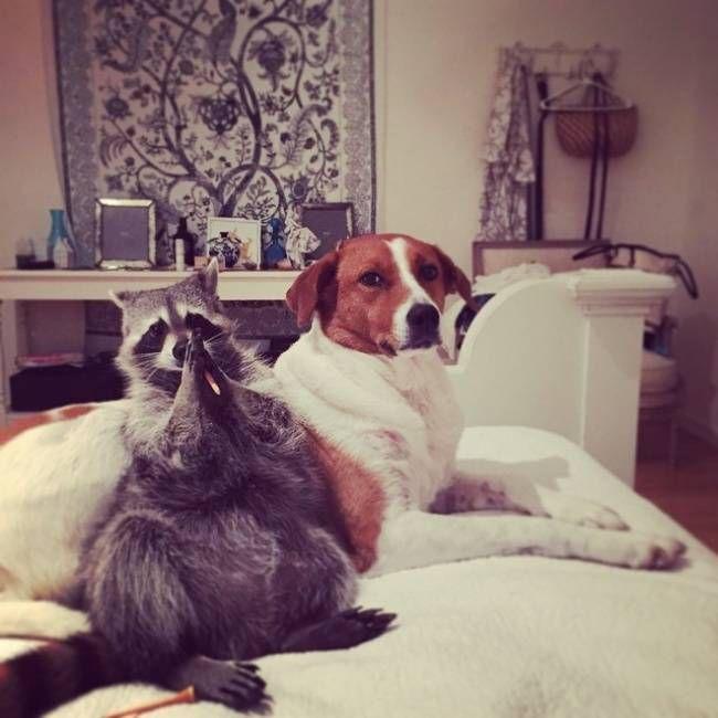 Спасенный енот живет с собаками 12