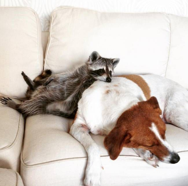 Спасенный енот живет с собаками 3