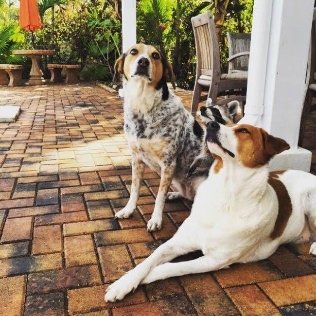 Спасенный енот живет с собаками 5