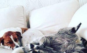 Спасенный енот живет с собаками