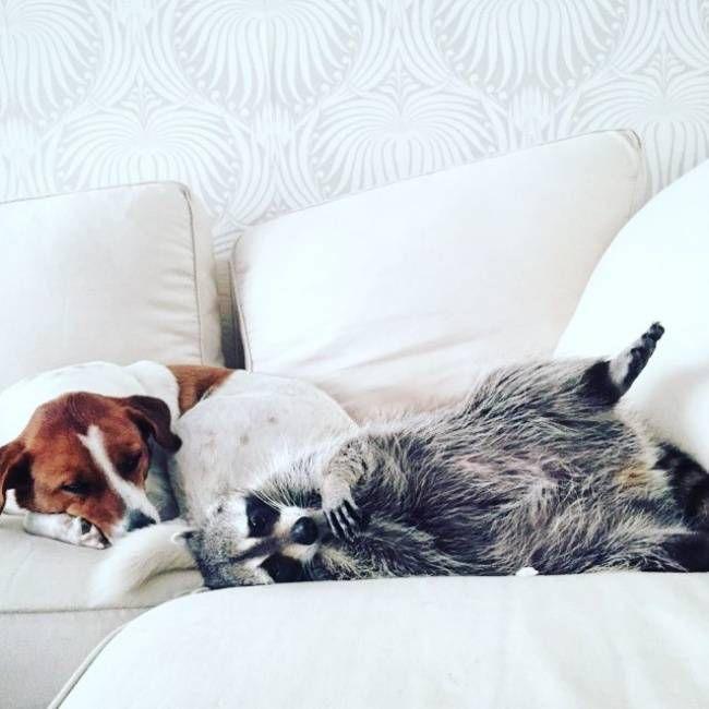Спасенный енот живет с собаками 8