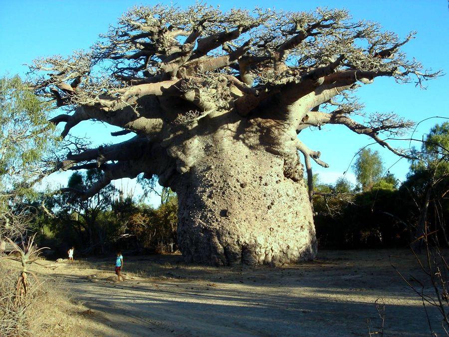 Дерево, в дупле которого сможет спать 30 человек!