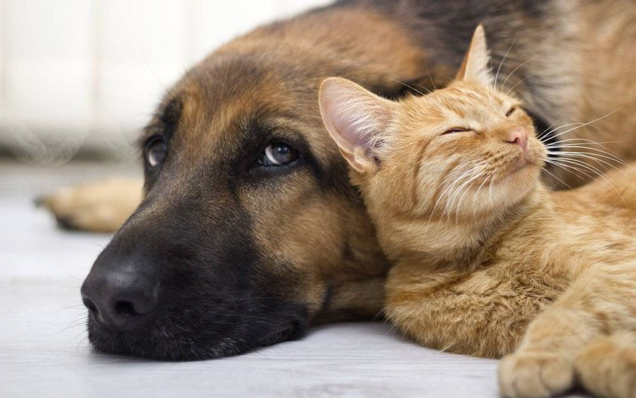 Кто любит своих хозяев больше: кошки или собаки?