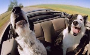 Собаки, которые любят путешествовать со своими хозяевами