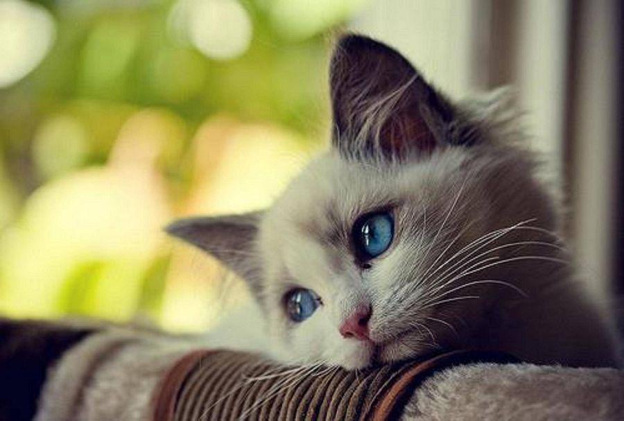 грустная кошка