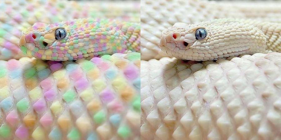 разноцветная змея