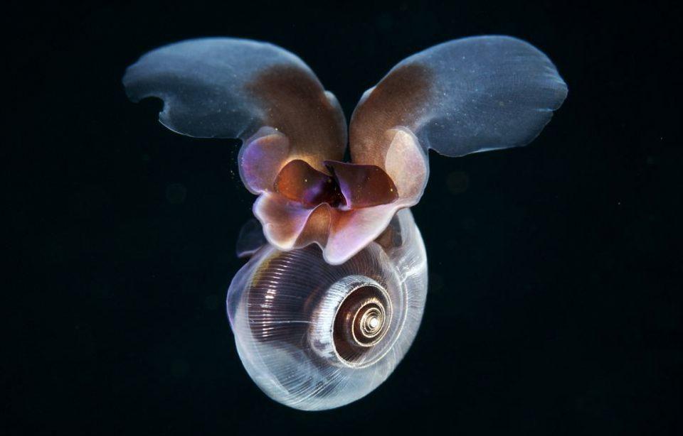 морская бабочка