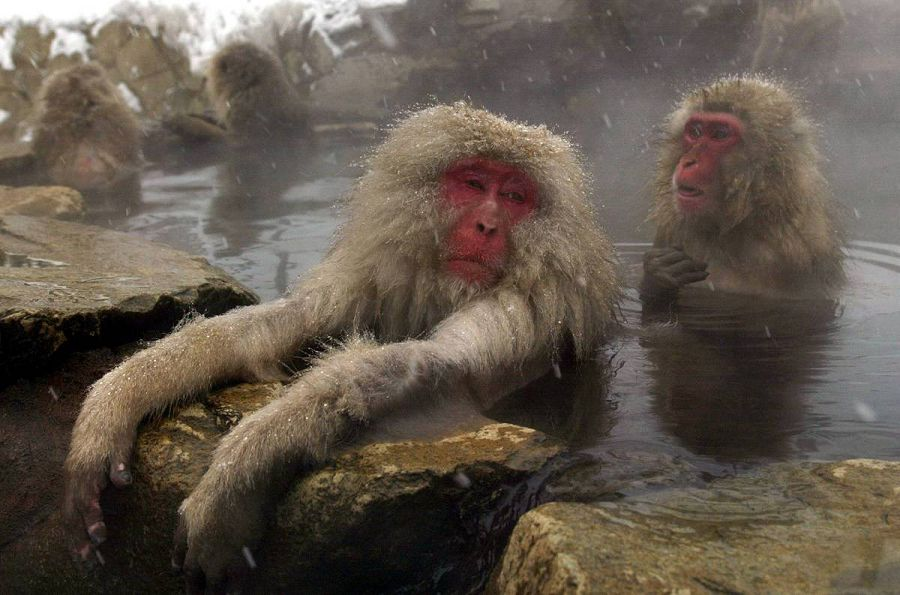 обезьяны в воде