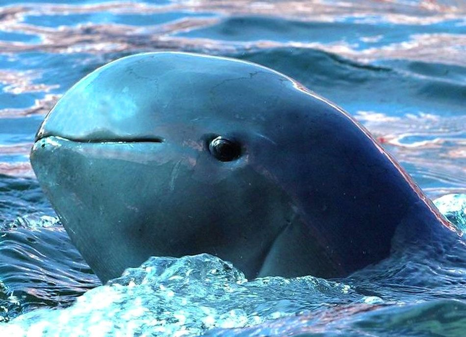 Иавадийский дельфин
