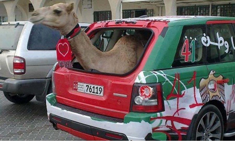верблюд в машине