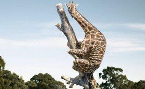 испуганный жираф