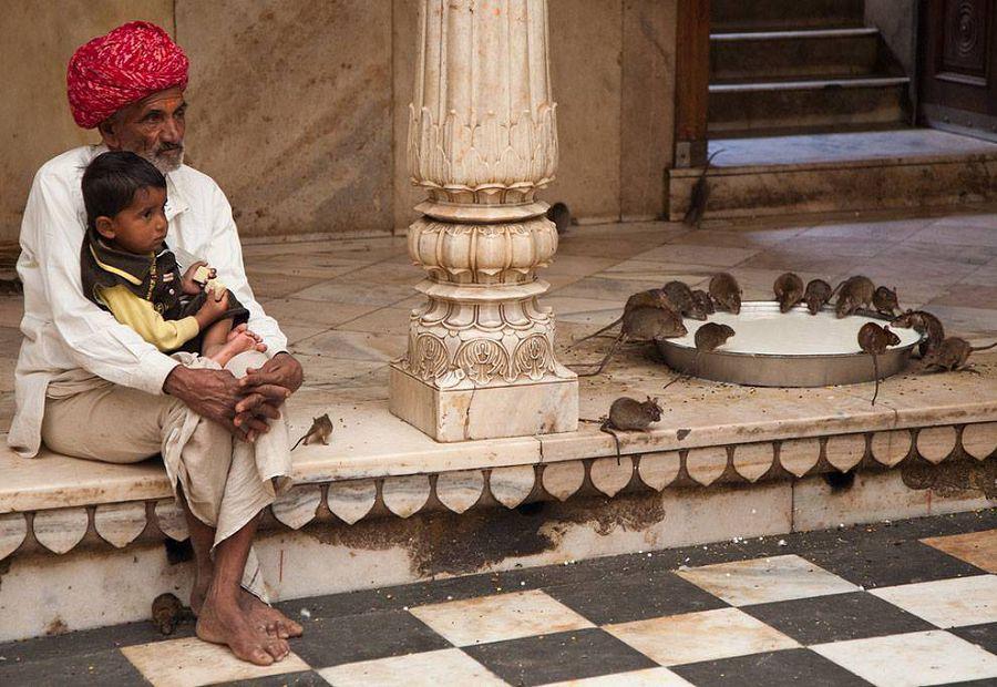 необычные достопримечательности. Храм Карни Мата в Индии