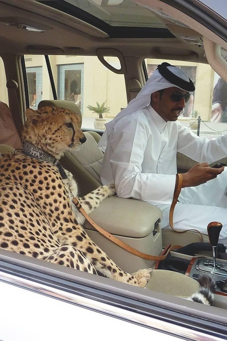 гепард в машине