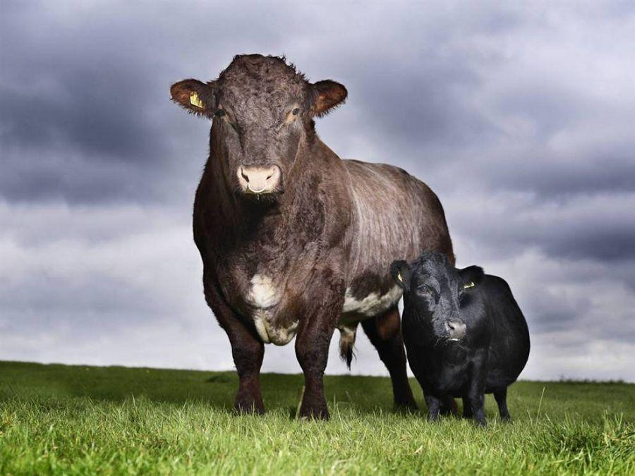 самая маленькая корова