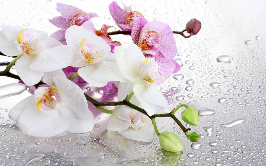 орхидеи 8 марта