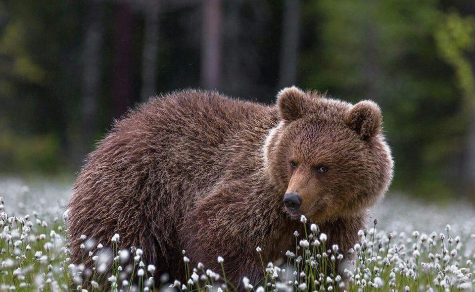 заигрывающий медведь