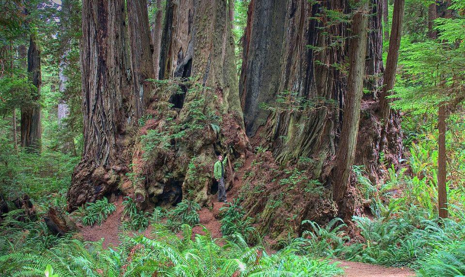 Орион дерево