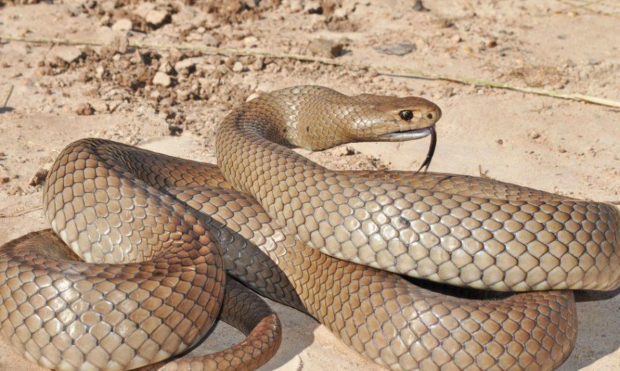 Сетчатая коричневая змея