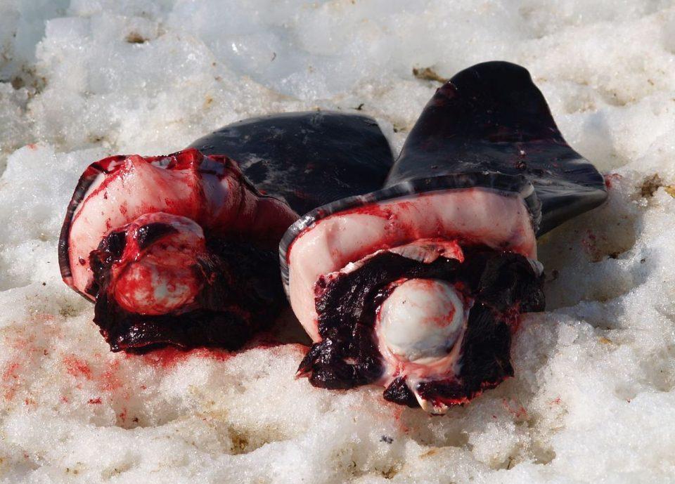 тюлень фаршированный чайкой