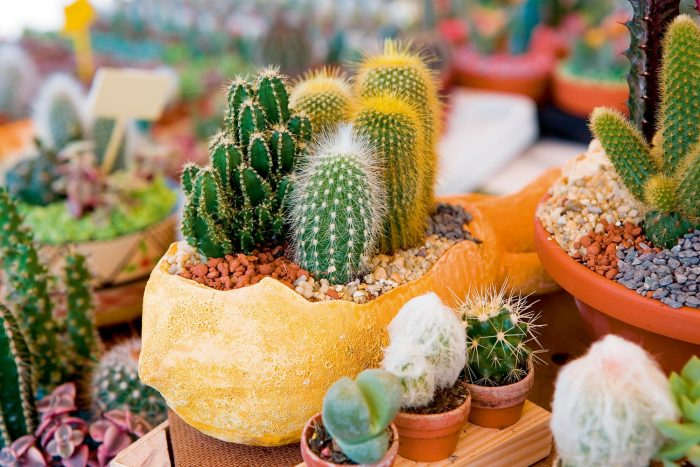 Неожиданные полезные свойства кактуса