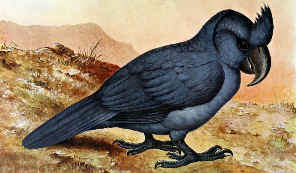 Маврикийский чубатый попугай