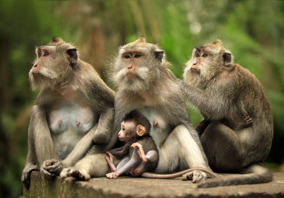 развлечения на островах. Лес обезьн на Бали